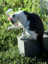 чистоплотная кошка