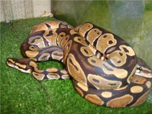Королевский питон - самая длинная змея на земле