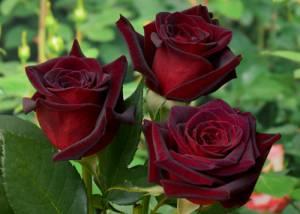 rose__barkarola_300x214